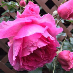 バラ栽培ビギナーのためのちょっとお役立ち情報