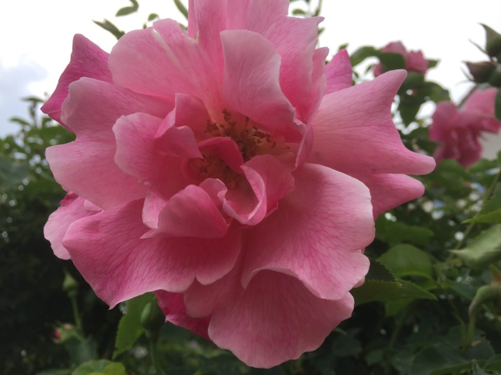 スパニッシュビューティーはひらひらが素敵なつるバラ